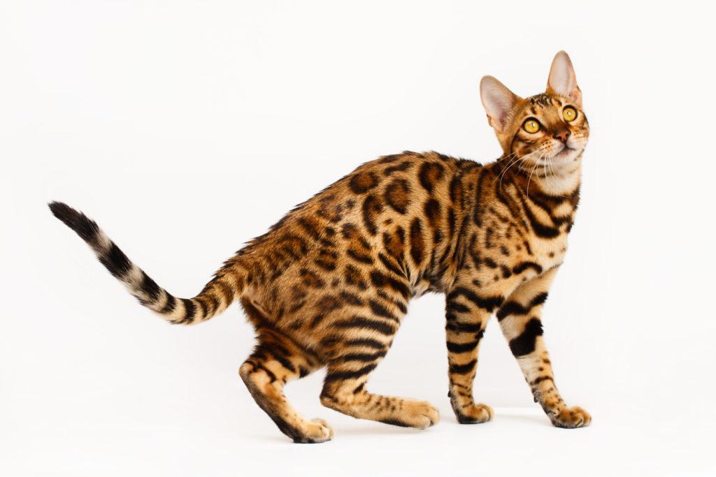 je bijela maca bolja od crne mačke