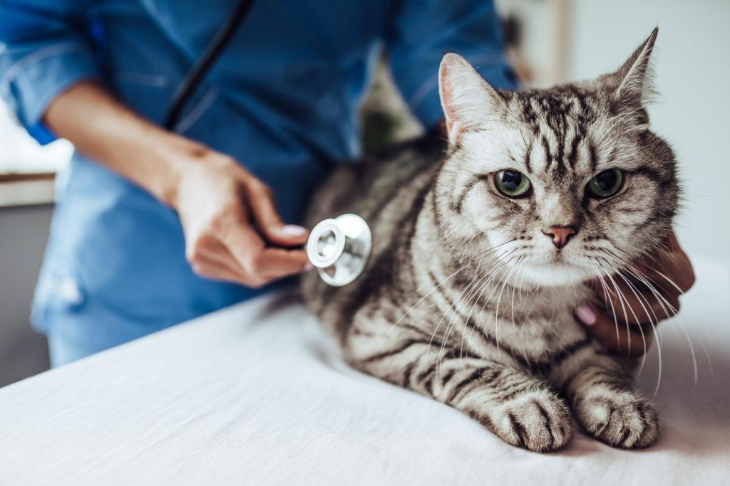 veliki maca tumor