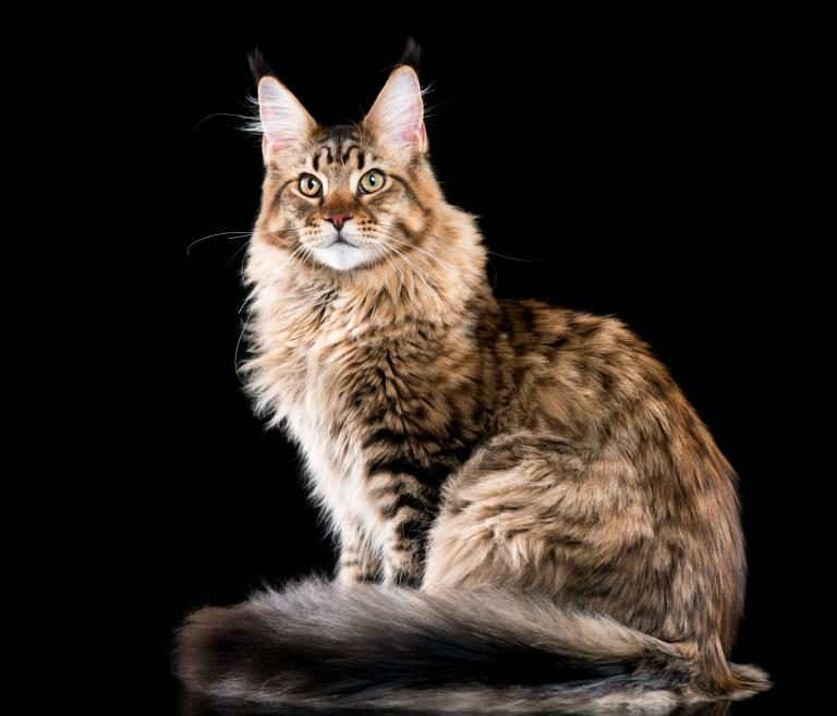 Velika debela maca mačka