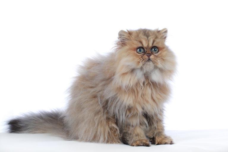 Dlaka kod maca