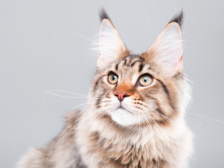 velika mačka maca prva pičkica